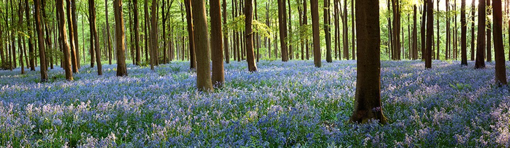 Bluebells by Nicki